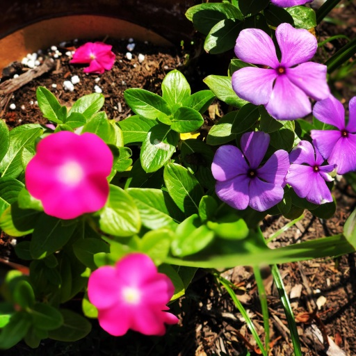 Pink and Purple Vincas growing in a pot